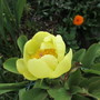 Paeony. Molly the Witch (Paeonia mlokosewitschii (Golden Peony))