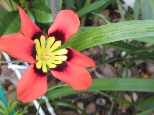 Sparaxis tricolor (Sparaxis tricolor (Harlequin Flower))