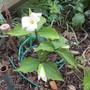 Trillium grandiflorum (Trillium grandiflorum (Wake robin))