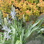 Camassia and Spiraea (Spiraea japonica (Japanese Spiraea))