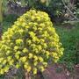 Aeonium arboreum Flowering (Aeonium arboreum)
