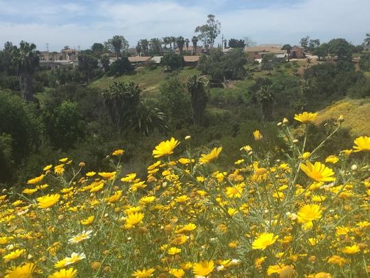 Super Bloom In San Diego (Super Bloom In San Diego)