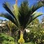 Rhopalostylis baueri - Norfolk Island Palm (Rhopalostylis baueri - Norfolk Island Palm)