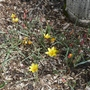 Tulipa clusiana var chrysantha - 2019 (Tulipa clusiana)