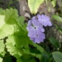 Primula sieboldii 'Seraphim' - 2019 (Primula sieboldii)