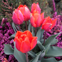 Viking Tulips with Heather