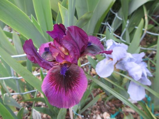 Oomo, Dwarf Bearded Iris (Iris pumila (Dwarf Flag))
