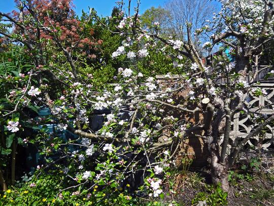 old apple blossom1 (Malus domestica (Apple))