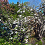 Old_apple_blossom1