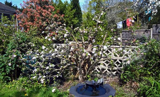 old apple blossom2 (Malus domestica (Apple))