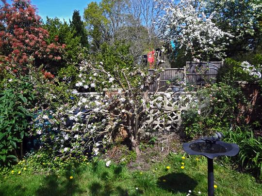 old apple blossom3 (Malus domestica (Apple))