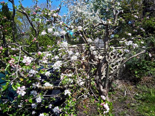 old apple blossom4 (Malus domestica (Apple))