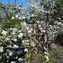 Old_apple_blossom4