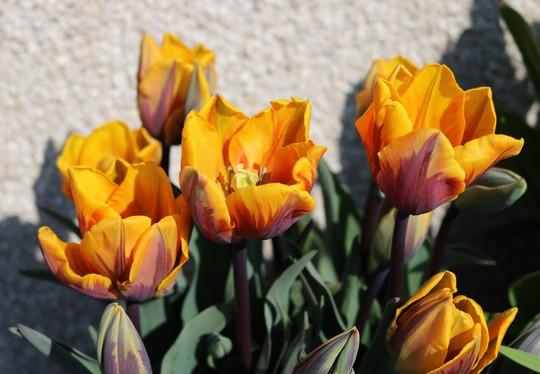 Tulip 'Prinses Margriet'