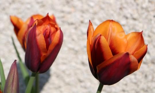 Tulip 'Cairo'