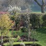 Plum blossom shining out at the back (Prunus domestica 'Victoria')