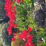 Red tulips in Grange over Sands, Cumbria.