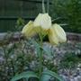 Fritillaria pallidiflora - 2019 (Fritillaria pallidiflora)