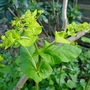 Smyrnium perfoliatum - 2019 (Smyrnium perfoliatum)