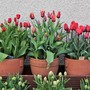Tulips - Top Row