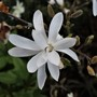 Magnolia stellata (Magnolia stellata (Star magnolia))