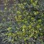 Corokia cotoneaster - 2019 (Corokia cotoneaster)