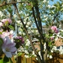 Apple Blossom (Cobra) a mix of cox's and Bramley apples