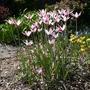 Tulipa clusiana - 2019 (Tulipa clusiana)
