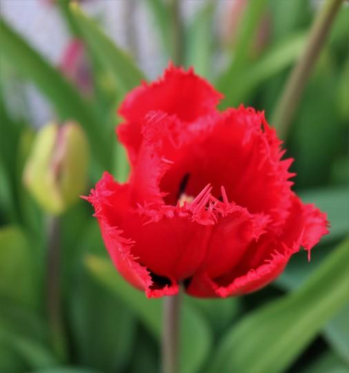 Tulip 'Red Wing'