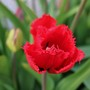 Tulip 'Red Wing'