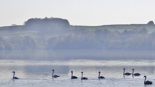 Swans on the reservoir at Carsington.