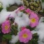 winter primroses.