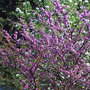 judas tree 3 (Cercis siliquastrum (Judas tree))