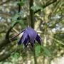 Clematis_macropetala_purple_spider_2019