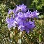 Rhododendron 'Josefa Blau' (close-up) - 2019 (Rhododendron 'Josefa Blau')