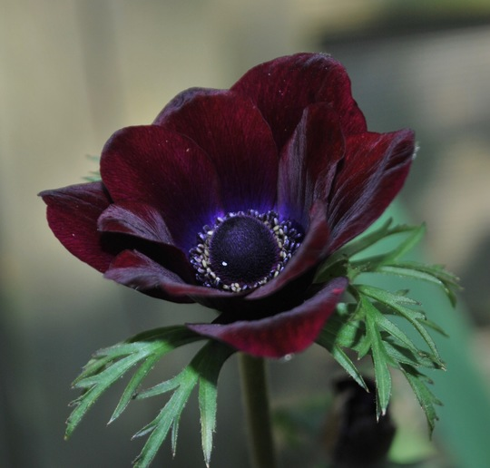 Anemone....