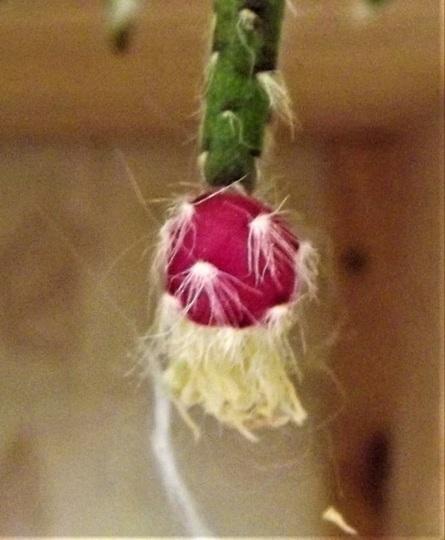 Rhipsalis pilocarpa with berries.