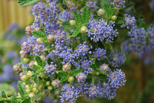 And another Ceanothus.....I think this one is Skylark (Ceanothus Skylark)