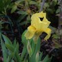 Early yellow Iris for my records