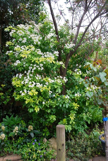 Choisya ternata {Sundance} Brica.🏡🌻 (Choisya ternata (Mexican orange blossom) Brica)