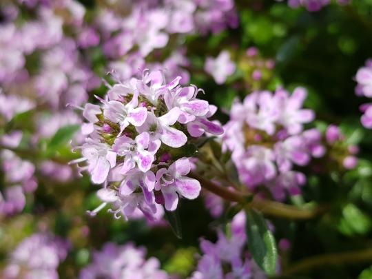 Winter savoury  (Satureja montana (Berg-Bohnenkraut))