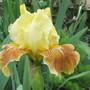 Intermediate Bearded Iris 'Golden Muffin' (Iris)
