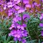Perenial Wallflower flowering well.
