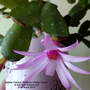 Easter_cactus_hatiora_rosea_flower_in_kitchen_close_up_21st_april_2019