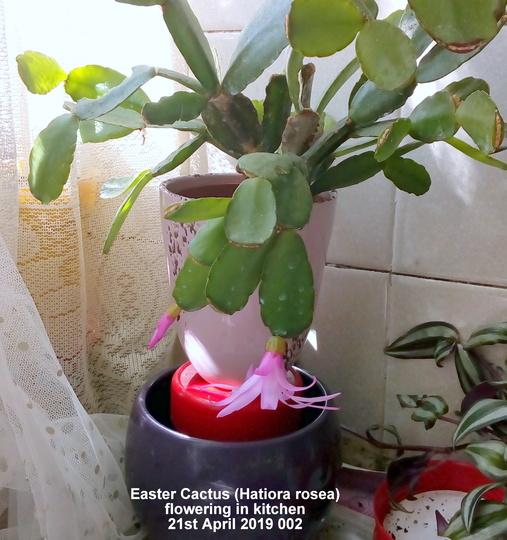Easter Cactus (Hatiora rosea) flowering in kitchen 21st April 2019 002 (Hatiora gaetner)