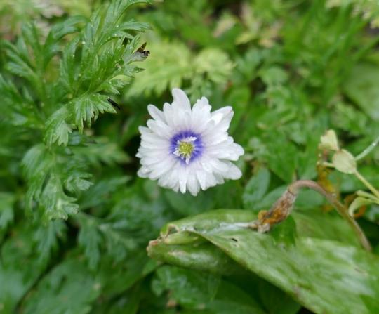Anemone nemorosa 'Blue Eyes' - 2019 (Anemone nemorosa)
