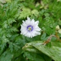Anemone_nemorosa_blue_eyes_2019