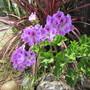 Pelargonium. (Pelargonium graveolens (Geranium))