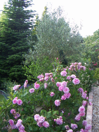Rosa 'Comte de Chambord' wwith Olive tree behind