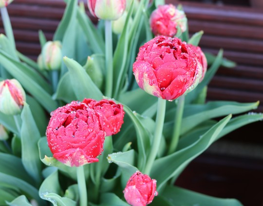 After the Rain - Tulip 'Red Baby Doll'